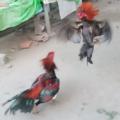 Cara Meningkatkan Pukulan Dan kualitas Tempur Ayam Bangkok