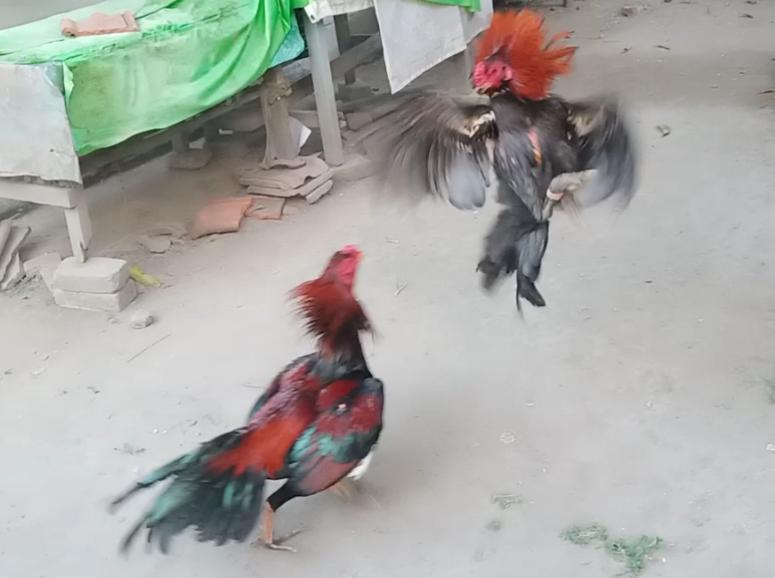 Ciri Ayam Bangkok Pembunuh Dengan Pukulan Mematikan