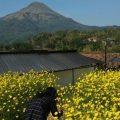 Bunga Refugia Di Kampung Organik Brenjonk Dijuluki Koreanya Mojokerto