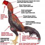 Ciri – Ciri Ayam Bangkok Super Teknik