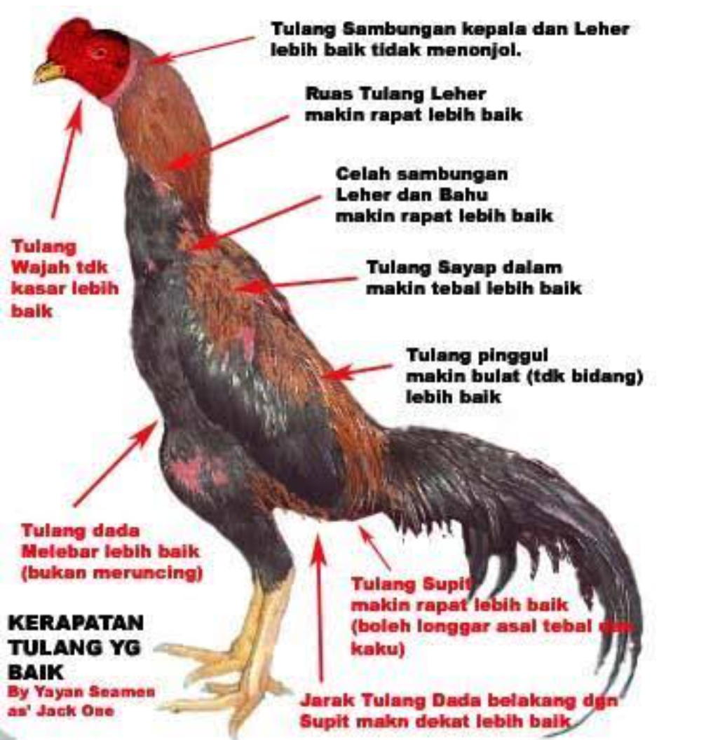 Ciri-Ciri Ayam Bangkok Super Teknik