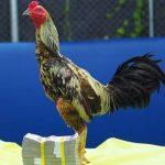 Ayam Aduan Phama Mahwing Jadi Yang Termahal Setelah Menang Tiga kali