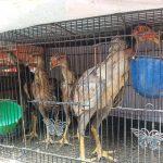Cara Agar Anak Ayam Bangkok Bertulang Kokoh Berpotensi Jadi Juara
