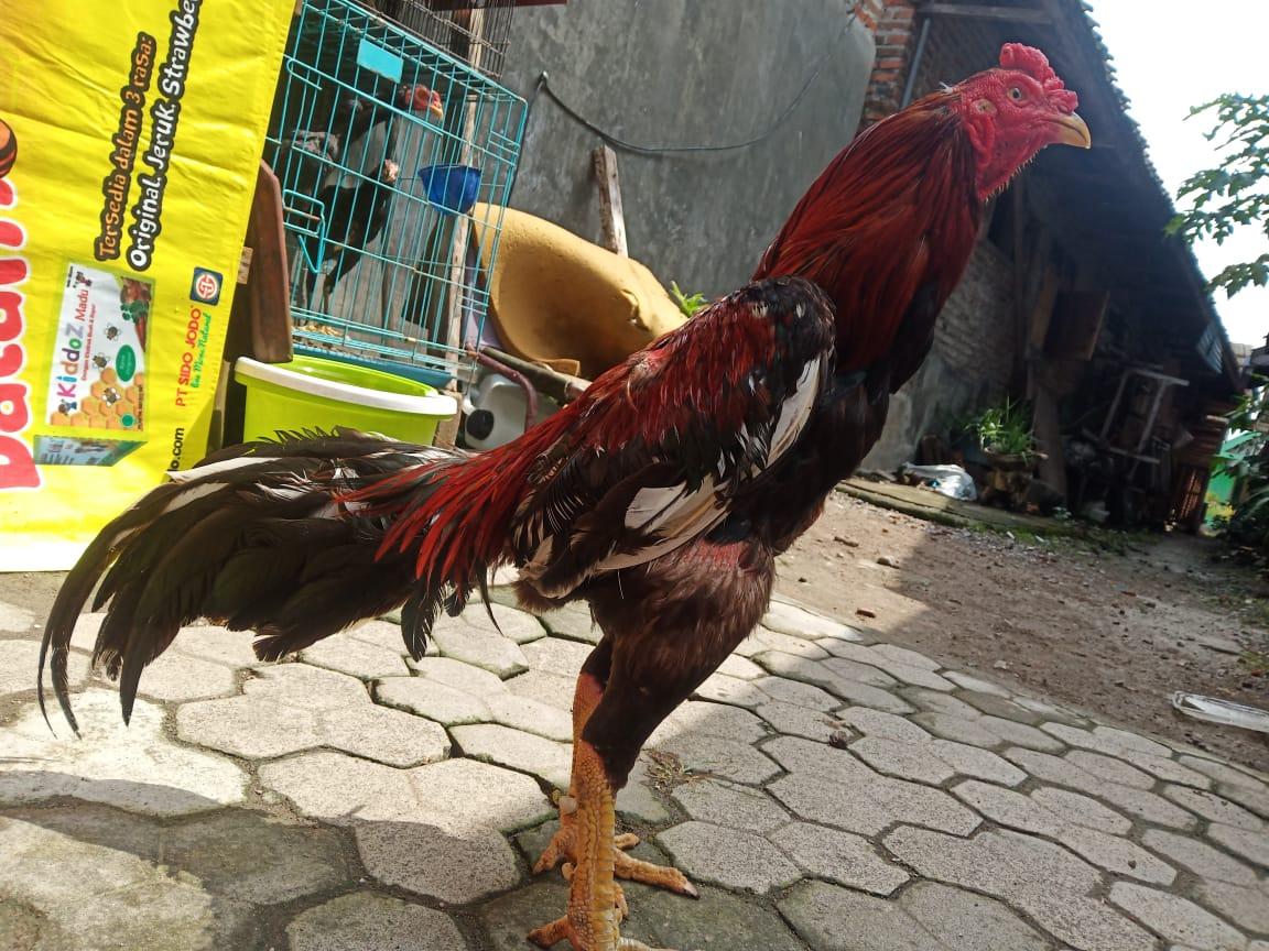 Ciri Ayam Bangkok Pukul Depan Dengan Akurasi Tinggi