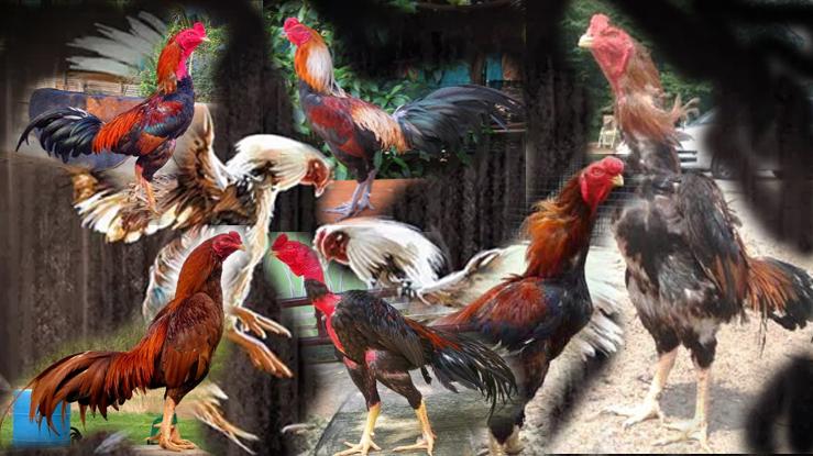 Jenis Ayam Petarung Paling Populer
