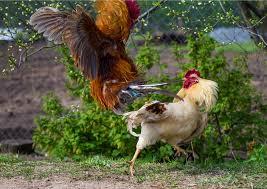 Cara Pemberian Pakan Ayam Bangkok Agar Nafas Panjang Dan Bertenaga