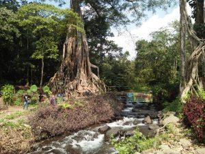 Pohon Berusia Ratusan Tahun Disebut Pohon Akar Seribu Jadi Wisata Alam Di mojokerto
