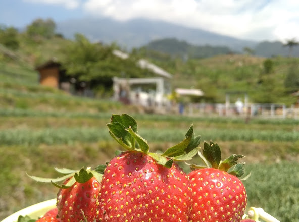 Menilik Wisata Edukasi Kebun Strawberry Farm Pacet