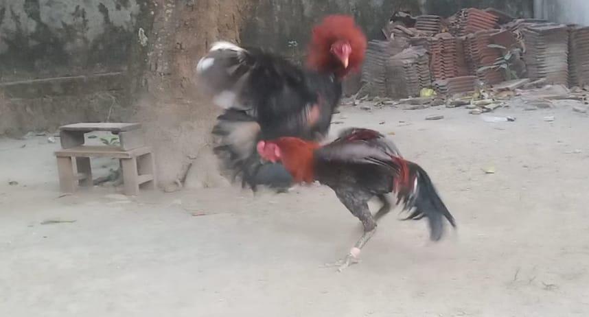 Cara Mempersiapkan Ayam Petarung Sebelum Di Adu