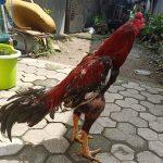 Jenis Ayam Petarung No 1 Tetap Ayam Bangkok