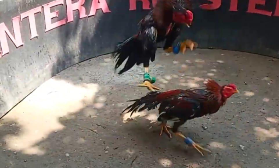 Jurus Ampuh Melatih Ayam Supaya Jadi Petarung Tangguh