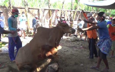 Sapi Madura Di Lumajang Mengamuk Terus, Akhirnya Ditaklukan