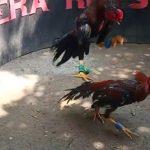 Jenis Ayam Petarung Paling Banyak Di Gandrungi Para Boto