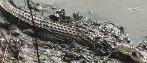 Penampakan Buaya di Sungai Bengawan Solo Lamongan Kembali Gemparkan Warga