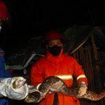 Ular Piton Sepanjang 3 Meter Akhirnya Diamankan Petugas Damkar Setelah Memakan Ternak Warga Trenggalek