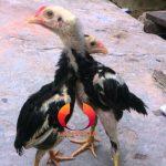 Merawat Anakan Ayam Bangkok Agar Punya Tulangan Yang Bagus Dan Kuat