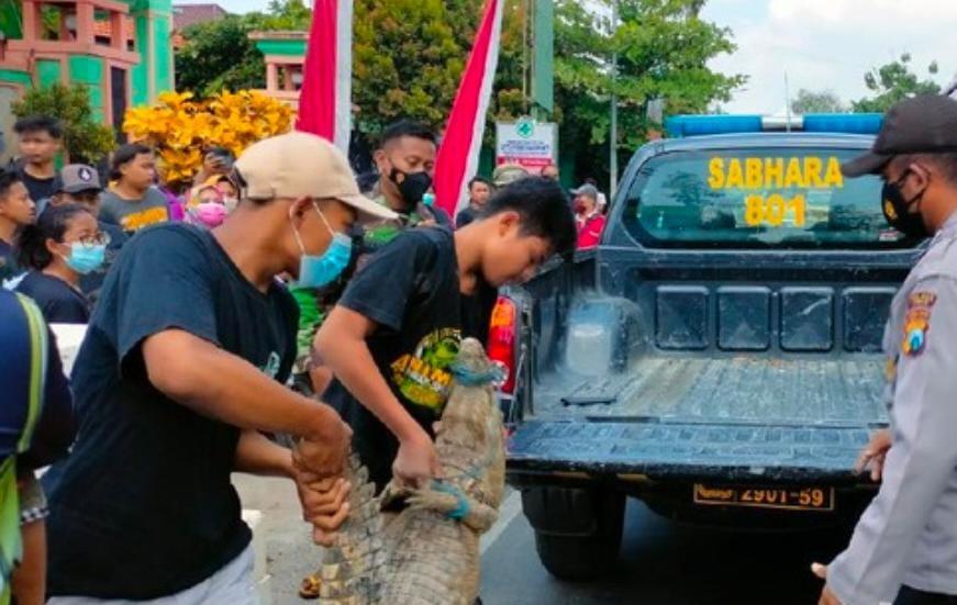 Buaya Di Depan Puskesmas Hebohkan Warga Tuban Akhirnya Dievakuasi ke Bojonegoro