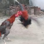 Cara Memilih Ayam Aduan Pukul Sadis