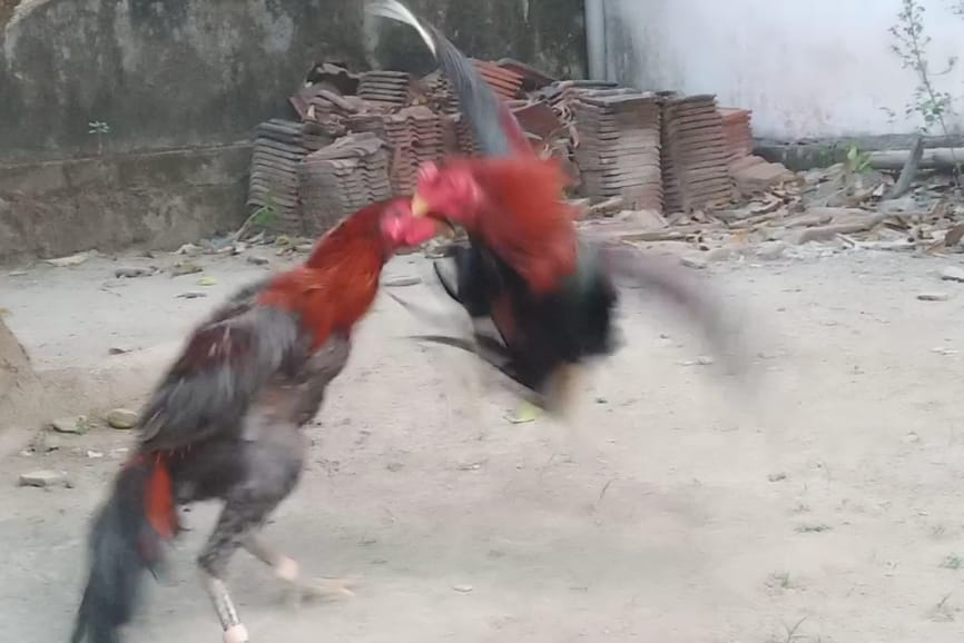 Ayam Aduan Pukul Sadis, ayam bangkok, ayam pukul keras
