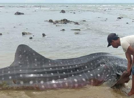 Ikan Hiu Terdampar di Pantai Sampang