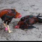 Ciri Ayam Bangkok Teknik Dan Pukul Sadis