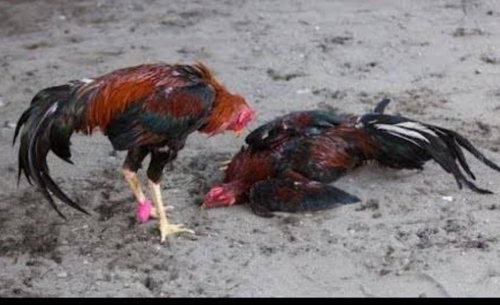 Ayam pukul sadis, ayam pukul mati, ayam bangkok,